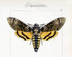 Deaths Head Moth clipart victorian
