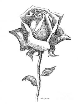 White Rose clipart pen and ink