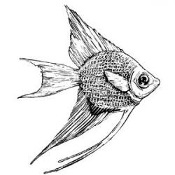 Drawn angelfish