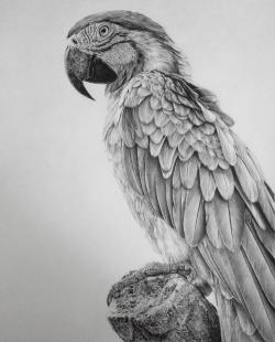 Drawn parakeet realistic
