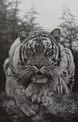 Drawn tiger wildlife