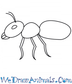 Drawn ant