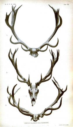 Drawn horns reindeer