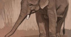 Drawn asian elephant oriental