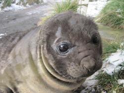Drawn elephant seal
