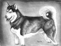 Drawn husky husky dog