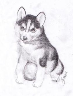 Drawn husky husky puppy