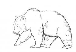 Drawn bear