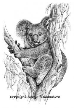 Drawn koala aussie