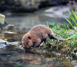 Beaver clipart canadian baby