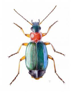Drawn insect scientific