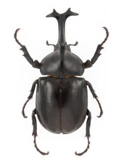 Drawn beetles japanese
