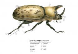 Drawn beetles hercules beetle