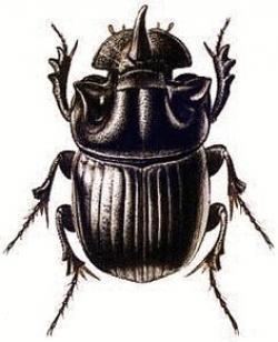 Drawn mosquito scarab beetle