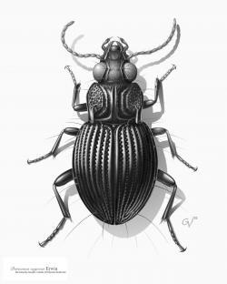 Drawn beetles scientific