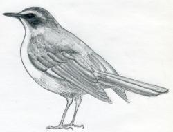 Drawn bird