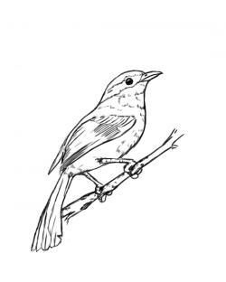 Drawn mockingbird