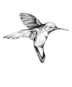 Drawn hummingbird pencil sketch