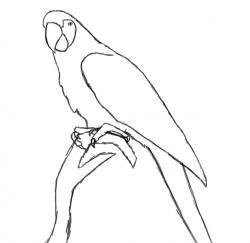 Drawn parakeet easy