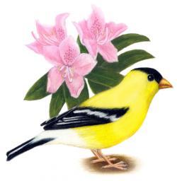 Goldfinch clipart washington state