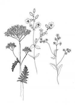 Drawn plant wildflower