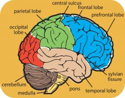 Drawn brains labeled part