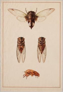 Drawn moth cicada