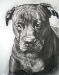 Drawn pitbull american pitbull