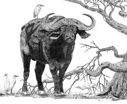 African Buffalo clipart