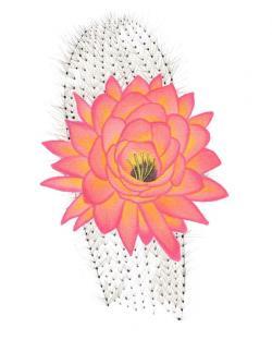 Drawn desert cactus flower