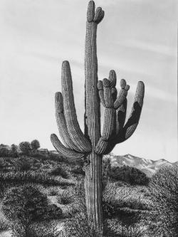 Drawn desert saguaro cactus