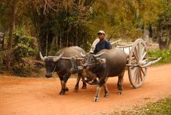 Drawn cart buffalo
