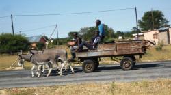 Drawn cart donkey
