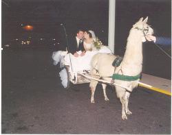 Drawn trolley llama