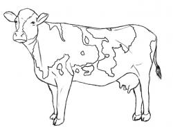 Drawn cow