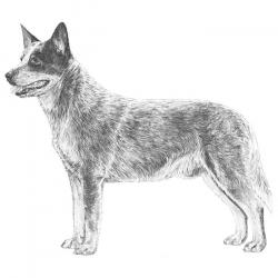 Australian Cattle Dog clipart