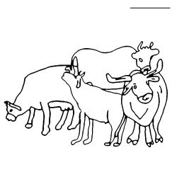 Drawn cow cattle herd