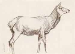 Drawn cow elk