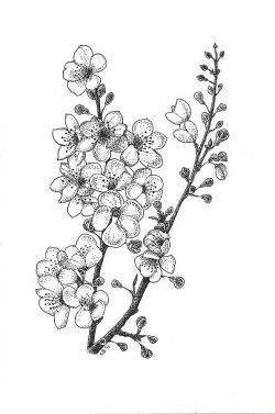 Drawn sakura blossom black and white