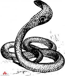 Cobra clipart sketch