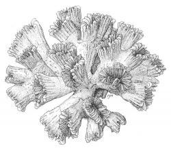 Drawn coral scientific illustration