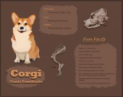 Drawn corgi  anatomy