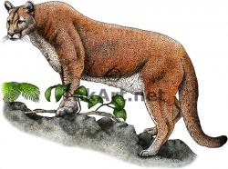 Drawn panther florida panther