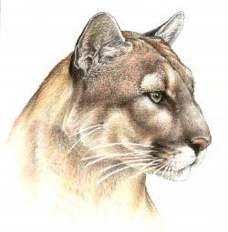 Drawn panther pencil drawing