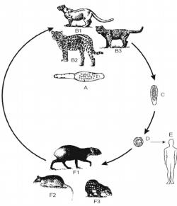Drawn cougar life cycle