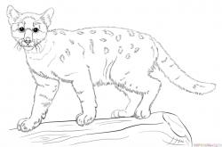Drawn lynx cougar