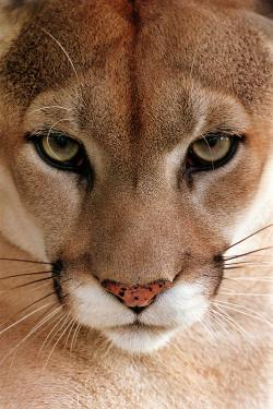 Drawn cougar