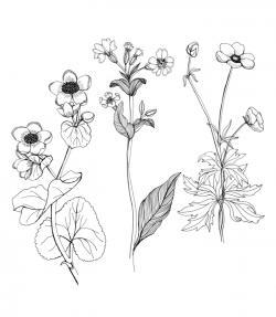 Drawn wildflower illustration