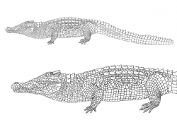 Drawn crocodile reptile