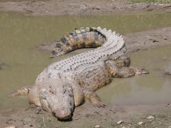 Drawn crocodile vertebrate